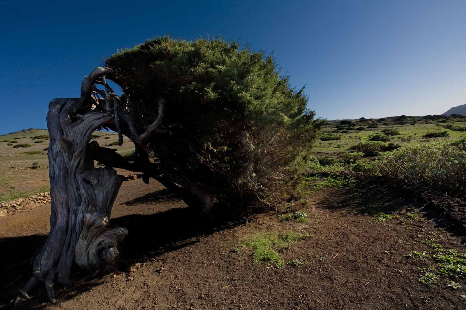 juniper tree, El Hierro